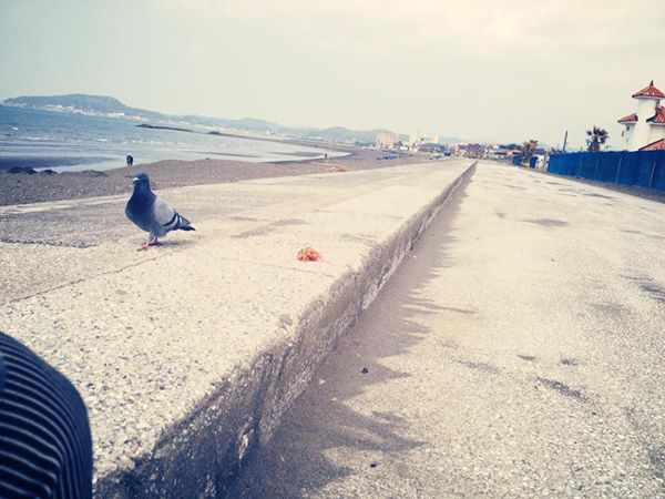 北条海岸の鳩